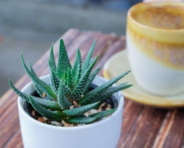 Aloe vera plant on table inside the house