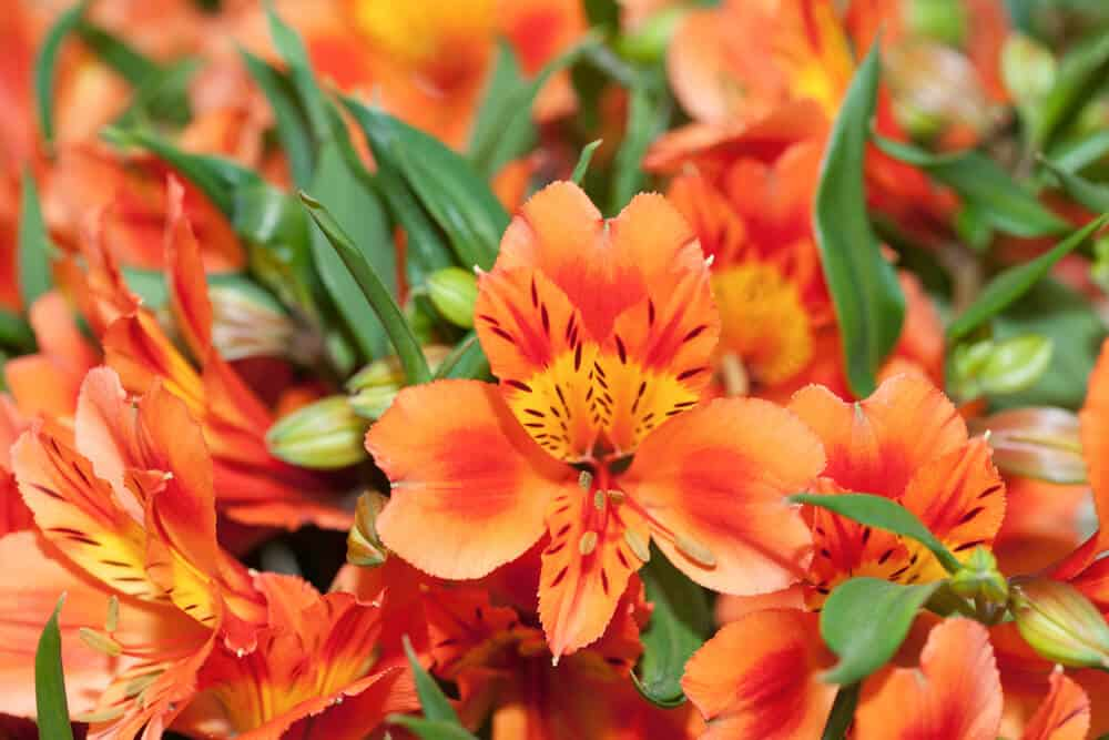 Lily of the Incas in bright Orange.
