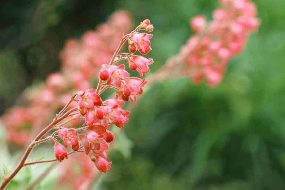Pink Alumroot flowers in a field.