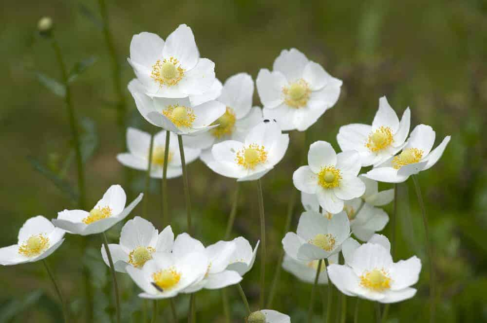 Anemone with white petals and a yellow center.