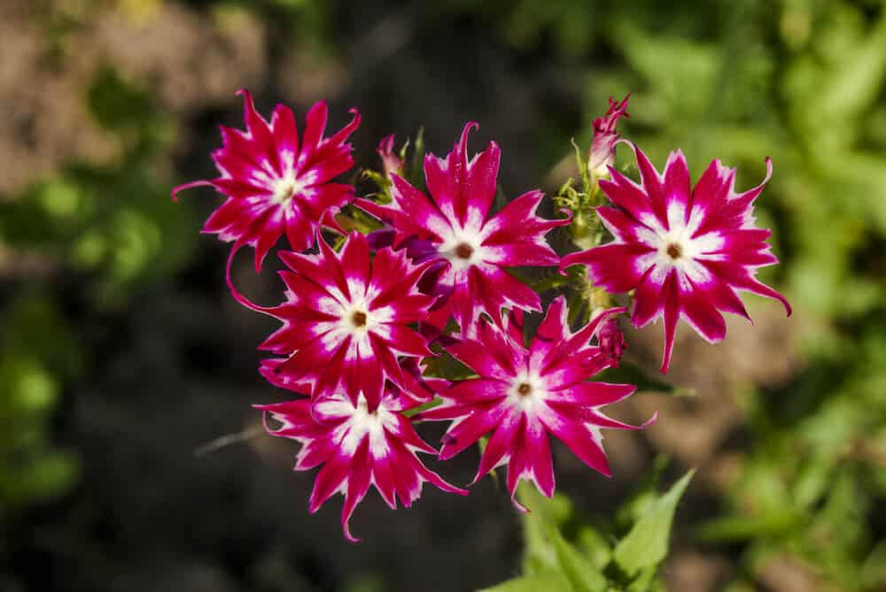 Annual Phlox in Maroon and Pink.