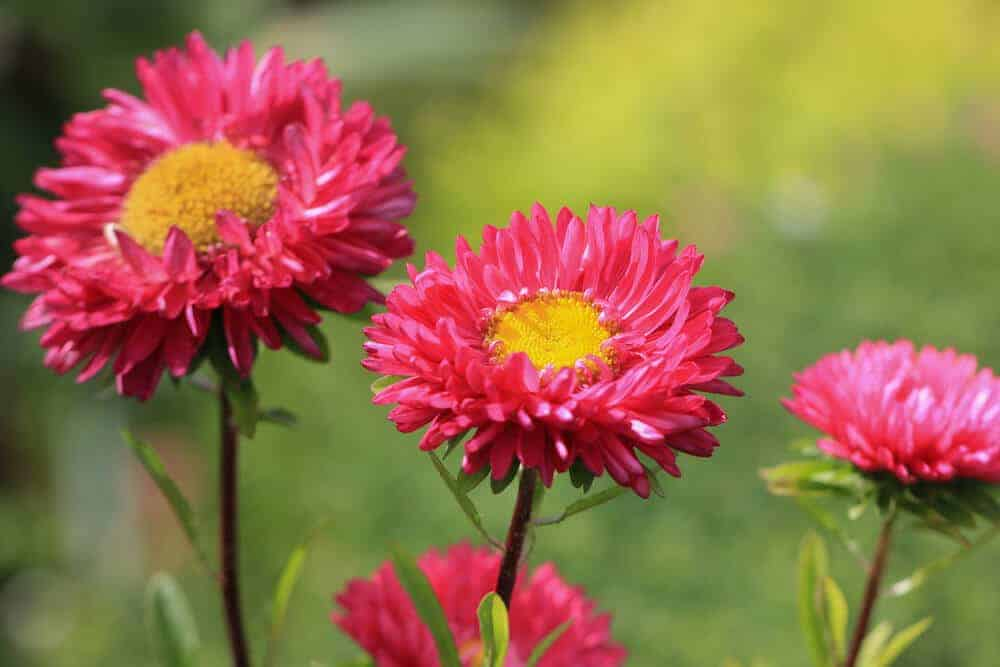 Hot Pink aster flowers.