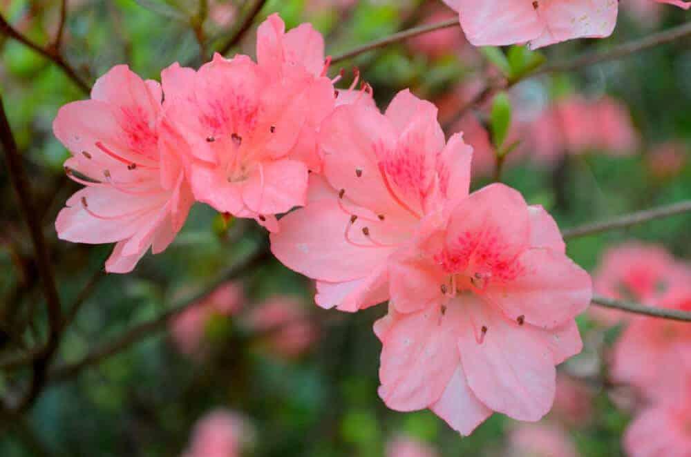 Azalea flowers in soft pink.