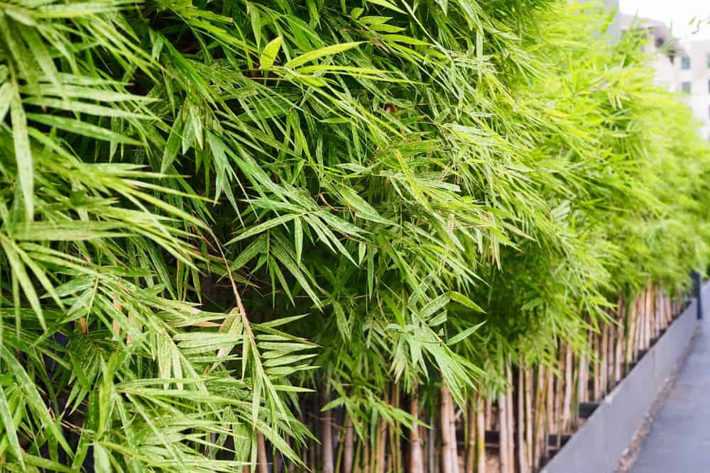 Bamboo plants serving as backyard privacy fence