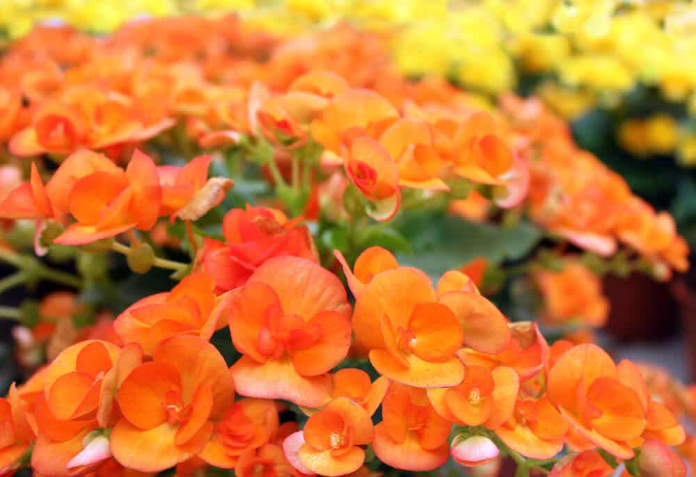 A field full of bright orange Begonias.