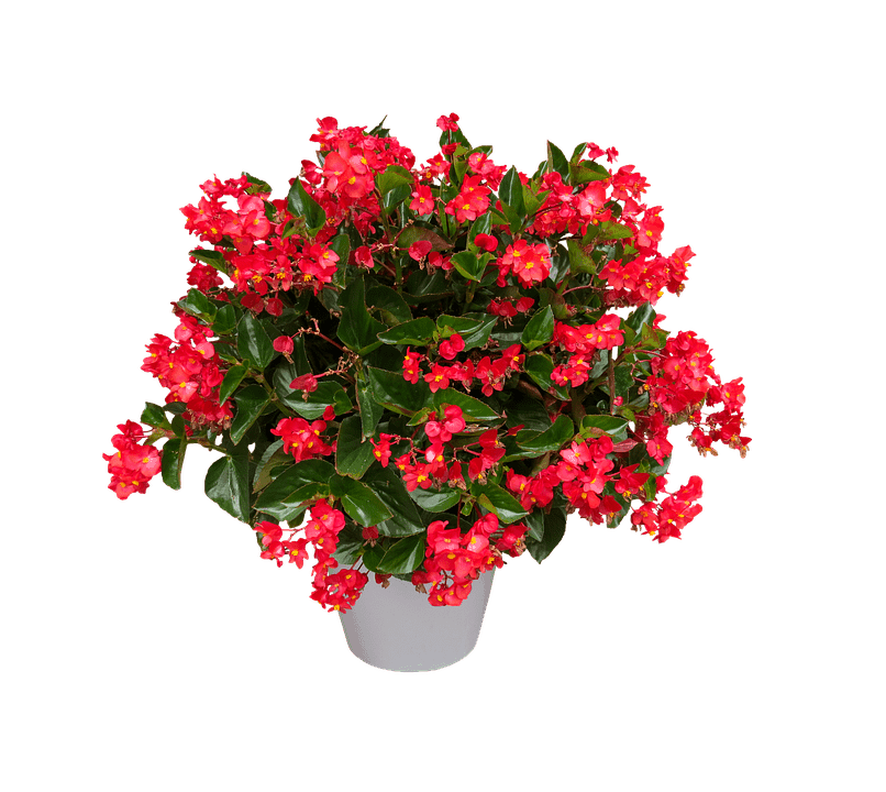 begonia-plant-042618-min House Plant With Spiky Leaves on indoor plants with colorful leaves, house plants with colorful leaves, house plant identification leaves, house plant with brown leaves, house plant with curly leaves, house plant with striped leaves, house plant with bumpy leaves, house plant with heart shaped leaves, house plant with fuzzy leaves, house plant with jagged leaves, house plant with green and yellow variegated leaves, house plant with big leaves, indoor plants with long leaves, house with pink and green plant leaves, house plant with pointed leaves, house plant spiky green yellow, plant with spikes on leaves, house plant with waxy flowers, house plant with peach blooms,