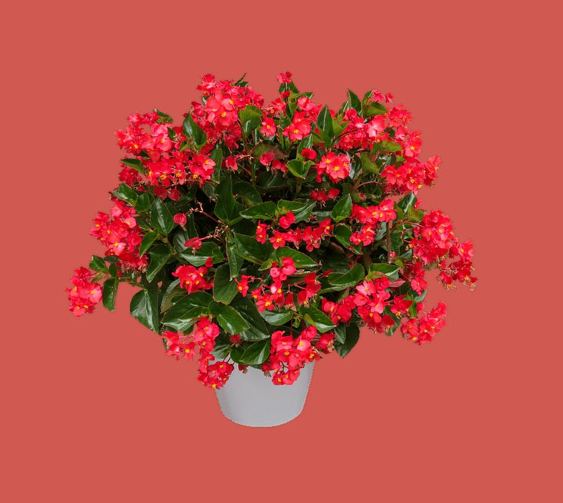 Rex begonia.