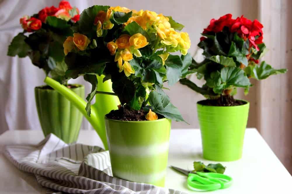 Αποτέλεσμα εικόνας για begonia in bathroom