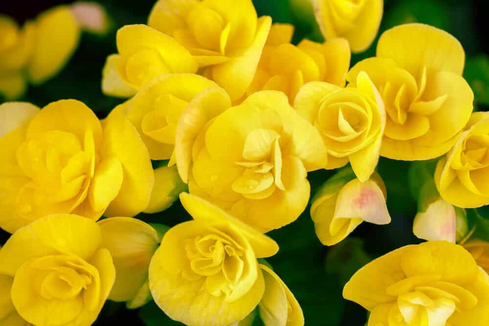 30 vibrant types of yellow flowers for your yard a to z a bunch of bright begonias mightylinksfo