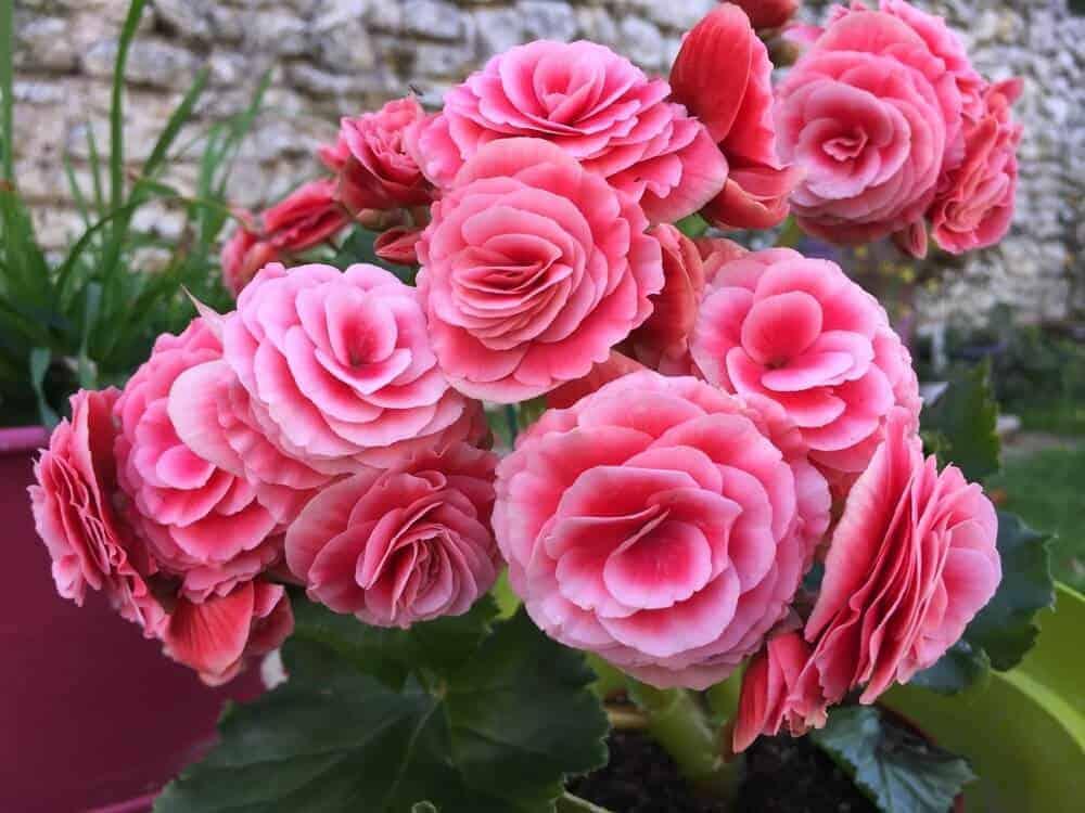 Pink and beautiful Begonias.