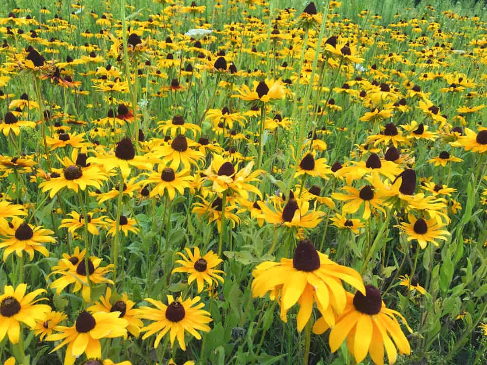 Black-eyed Susans in a green field.
