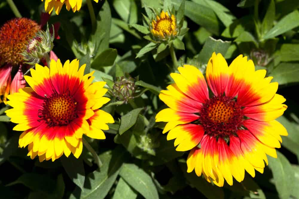 Blanket flowers in orange and yellow.