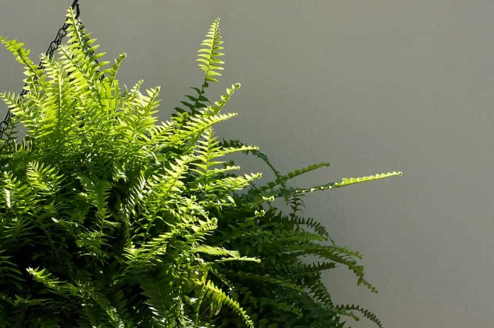 Boston fern indoor plant.