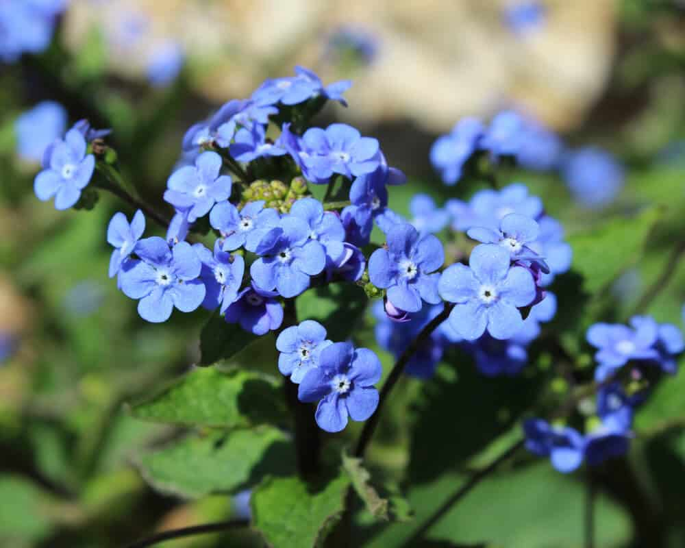 30 Popular Types Of Blue Violet Flowers For Your Garden A To Z