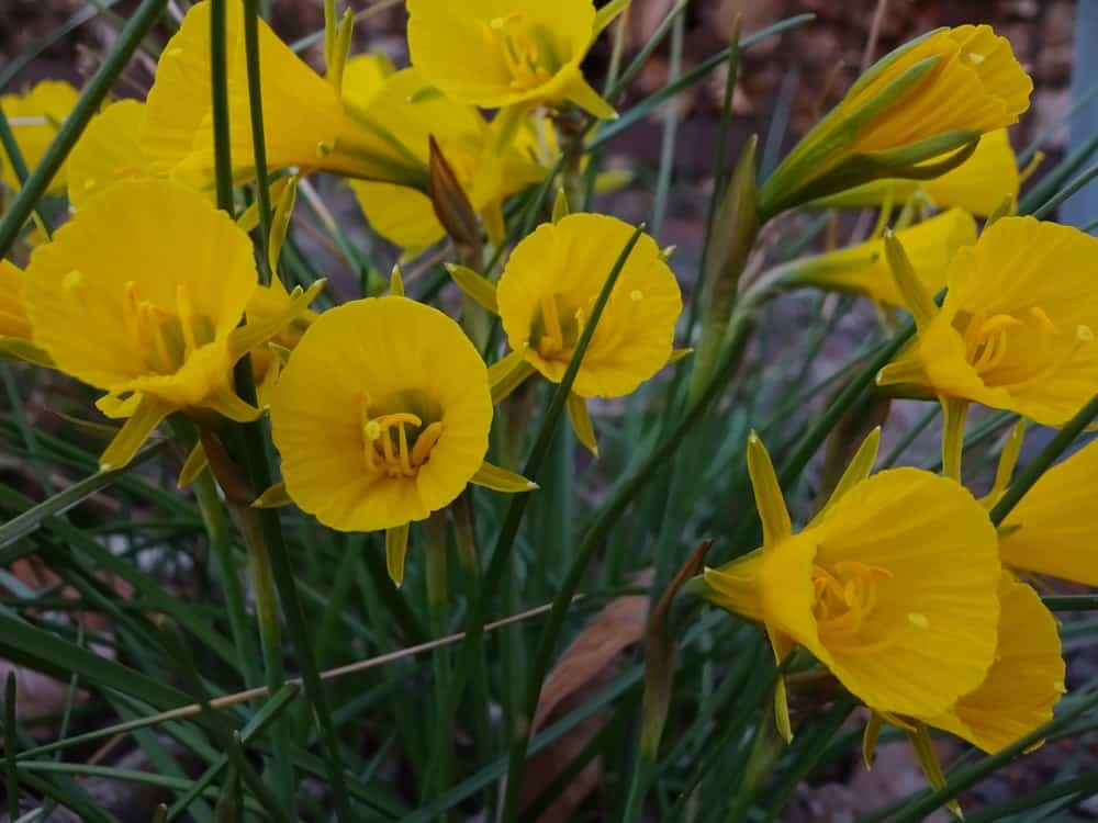 Bulbocodium daffodils