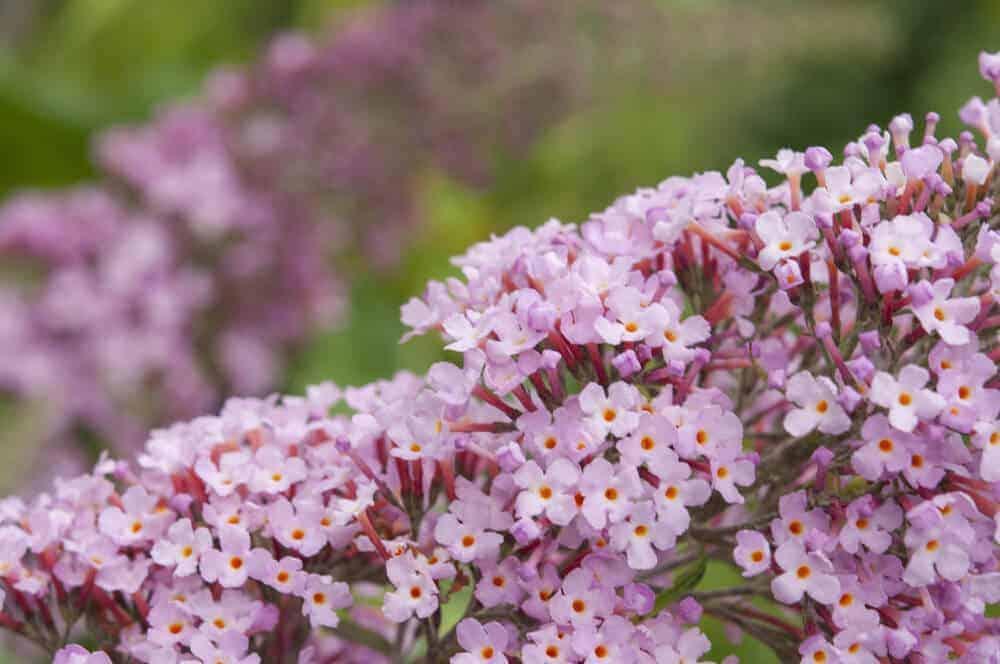 Butterfly Bush in light pink.