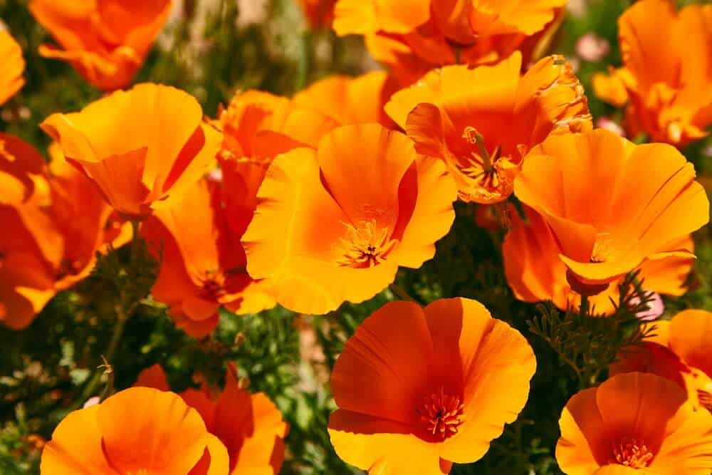A bunch of Orange California Poppies.