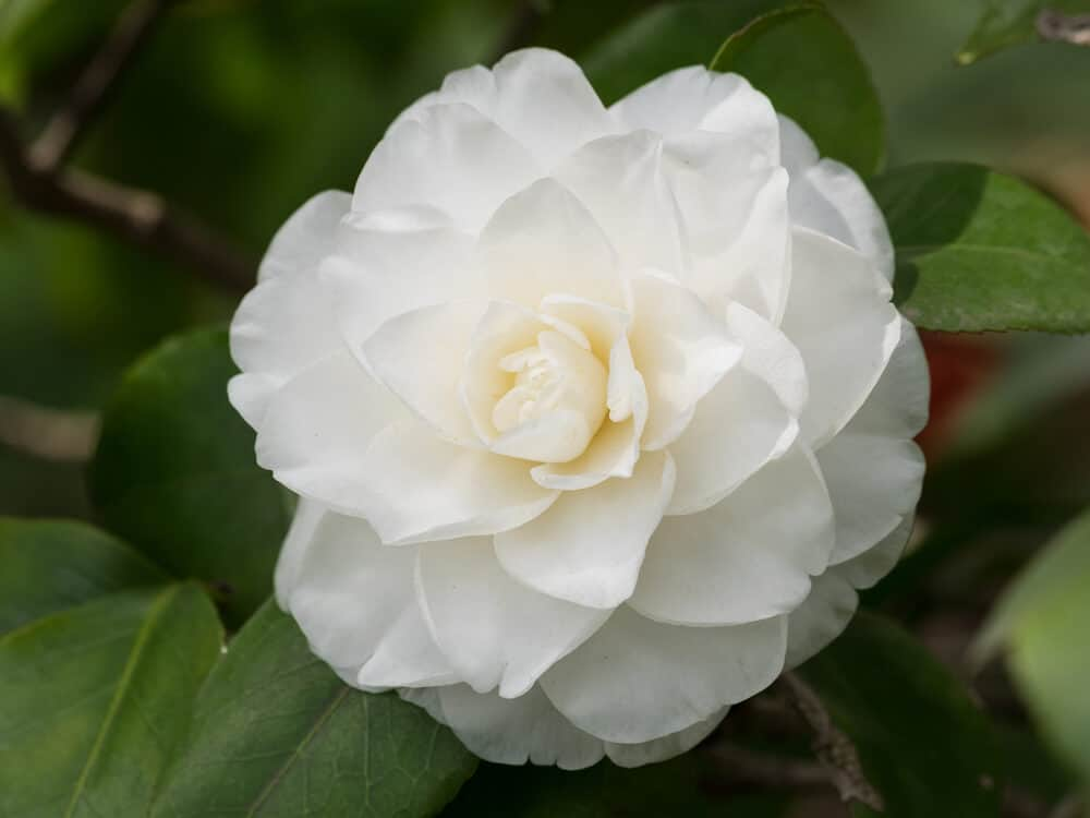 My 30 favorite types of white flowers for your gardens a to z fresh looking white camellia mightylinksfo