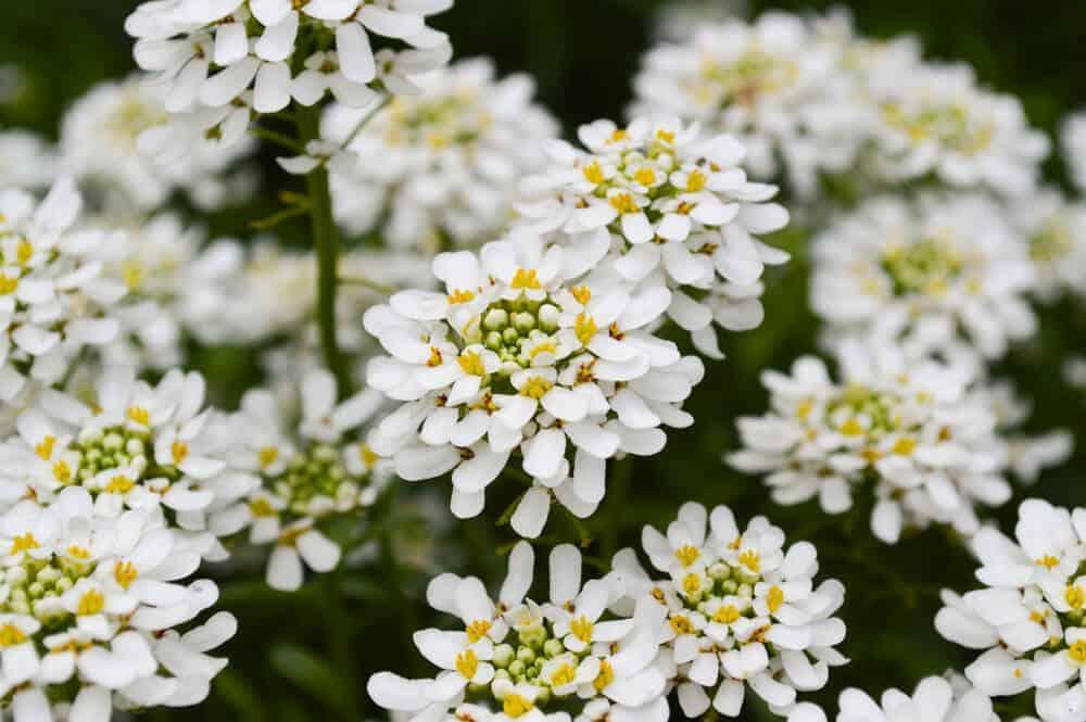 A garden full of White Candytuft flowers.