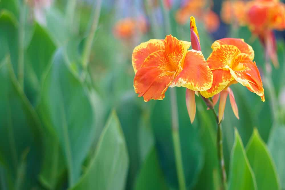 A clear shot of an orange Canna.