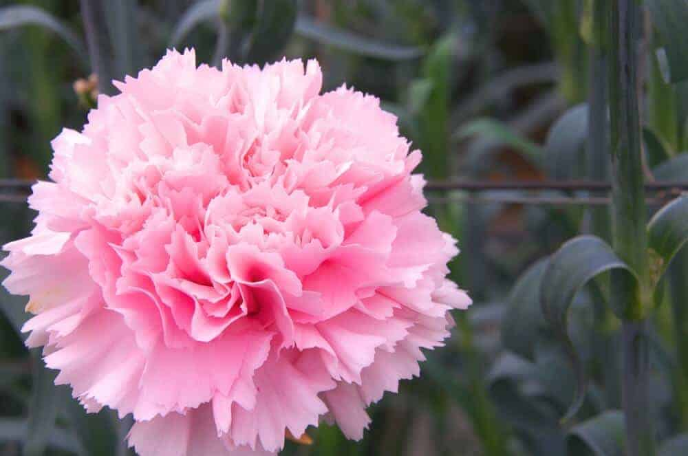 A beautiful carnation flower in soft pink.