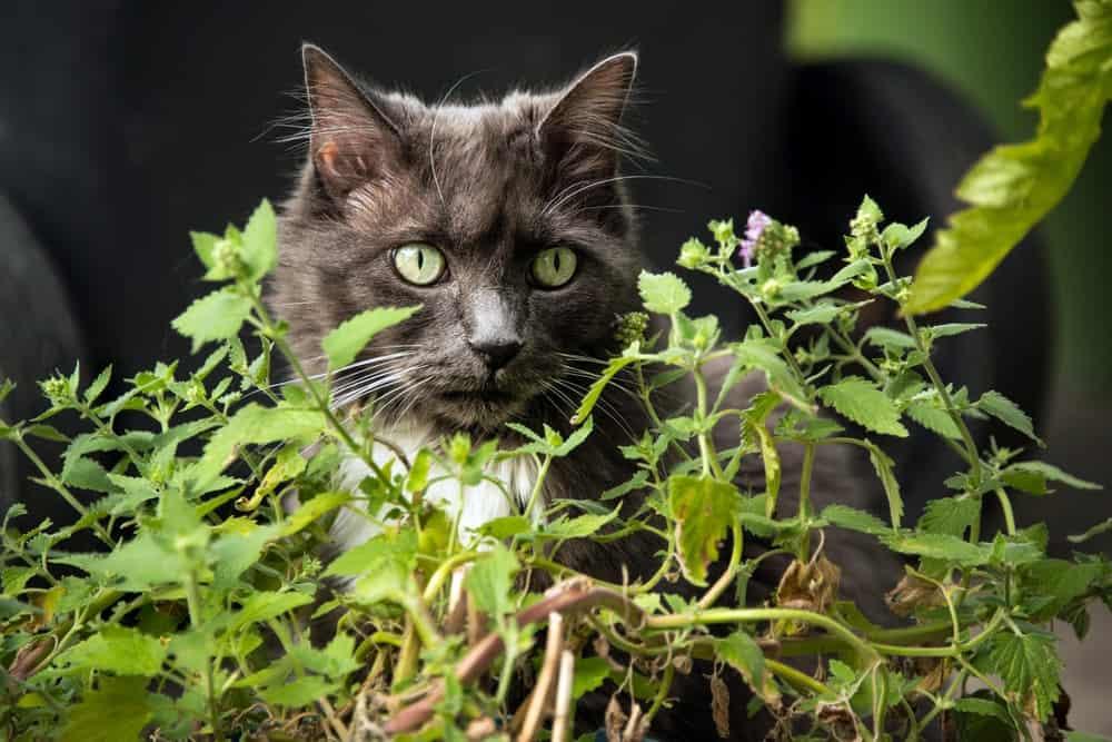 Catnip plant.