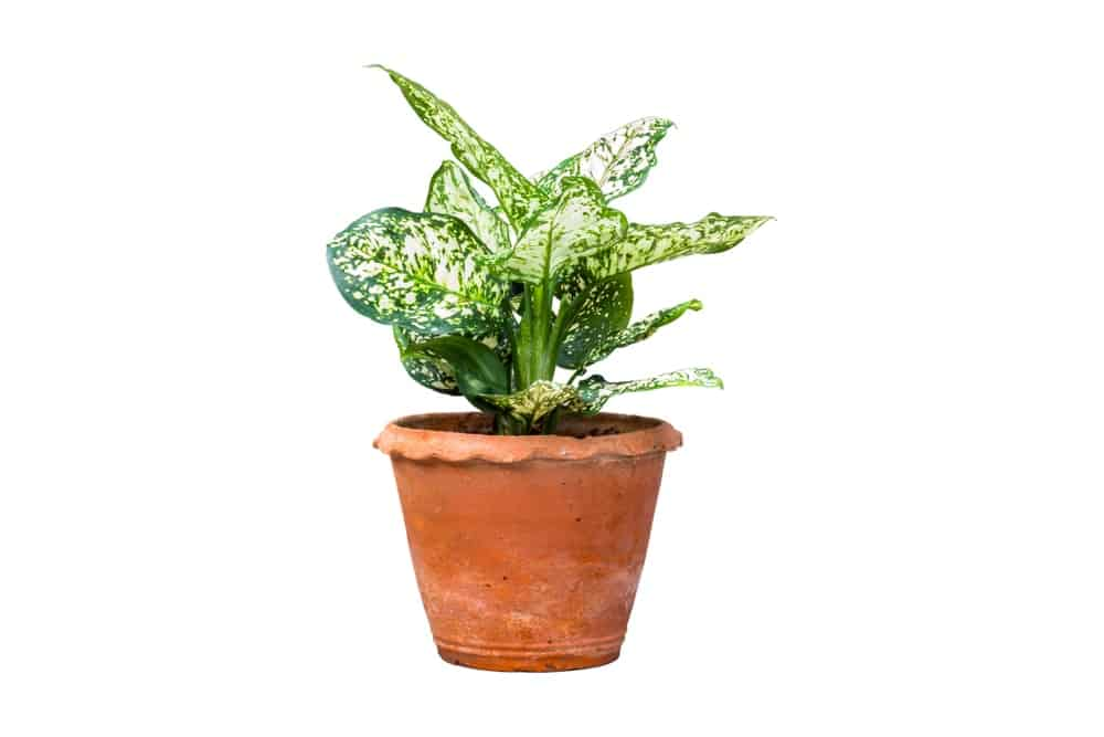 Chinese evergreen plant.