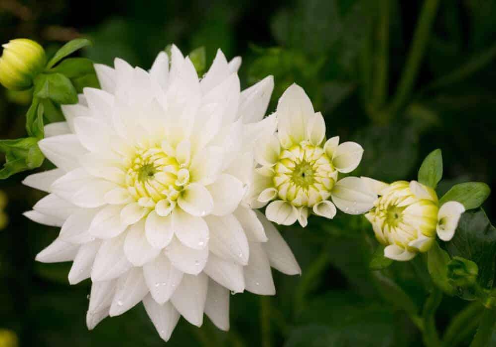 Healthy and fully-bloomed white Chrysanthemum.