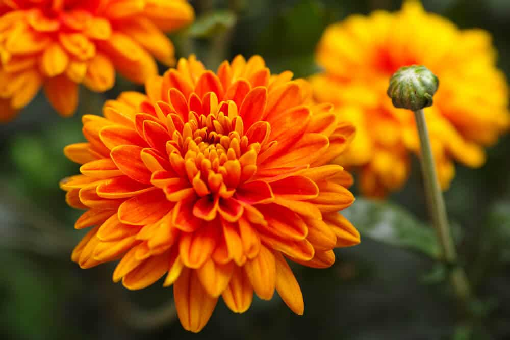 Fully-blossomed Chrysanthemums with a bright orange color.