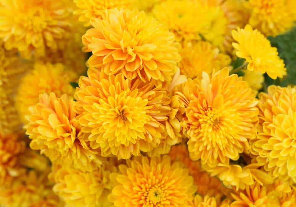 Bright and yellow Chrysanthemums.