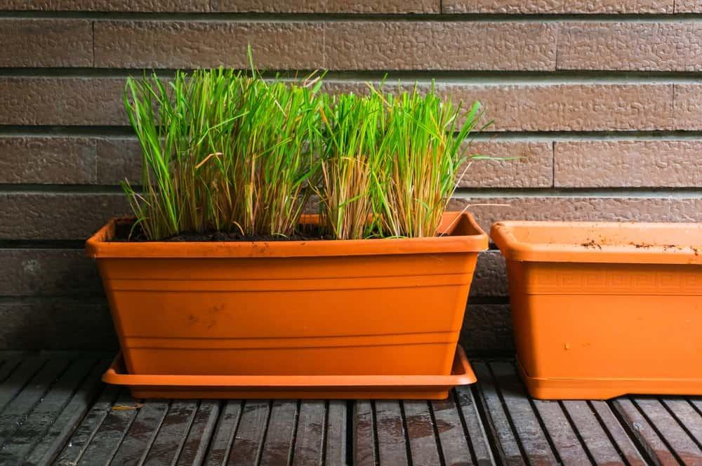 Citronella grass plant.