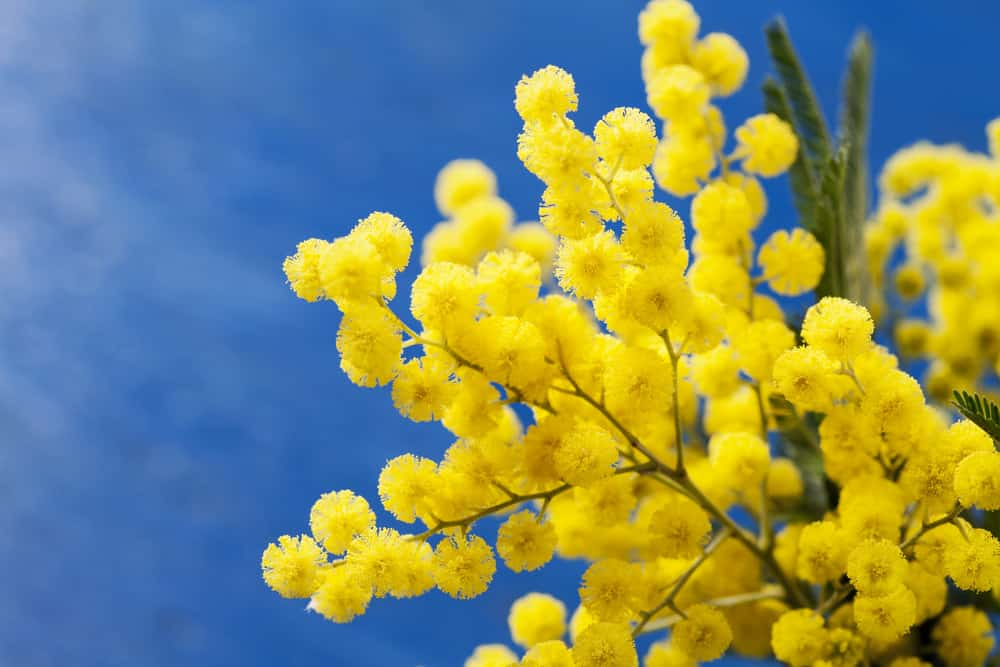Close up of yellow flowers on acacia dealbata tree