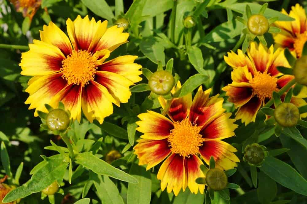 Coreopsis flowers in yellow and red-orange.
