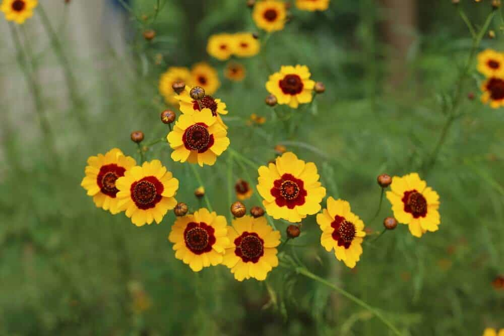 Coreopsis in a backyard.