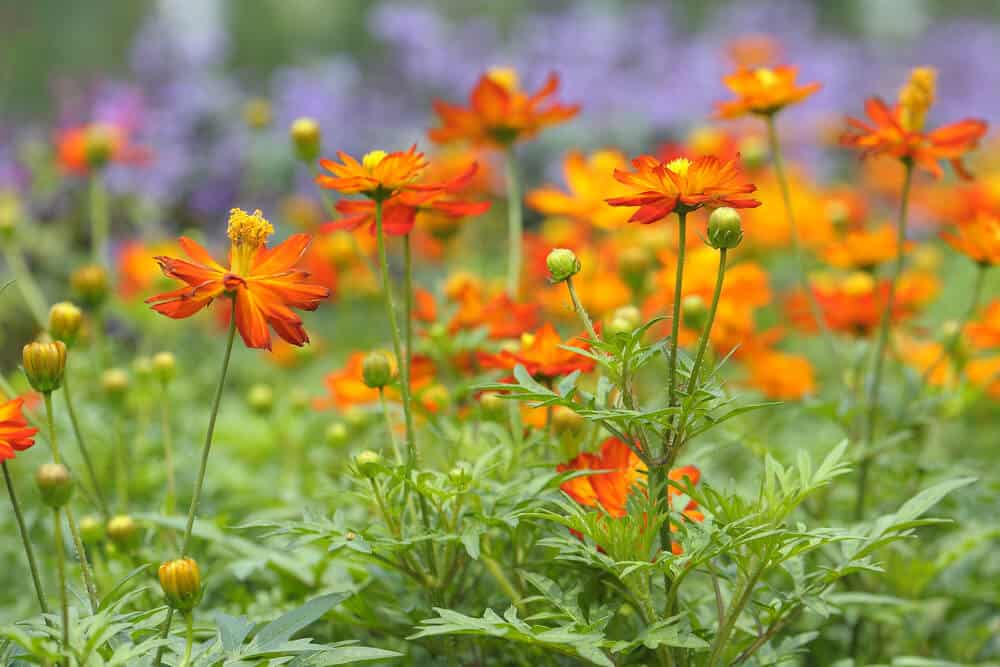A bed of orange cosmos.