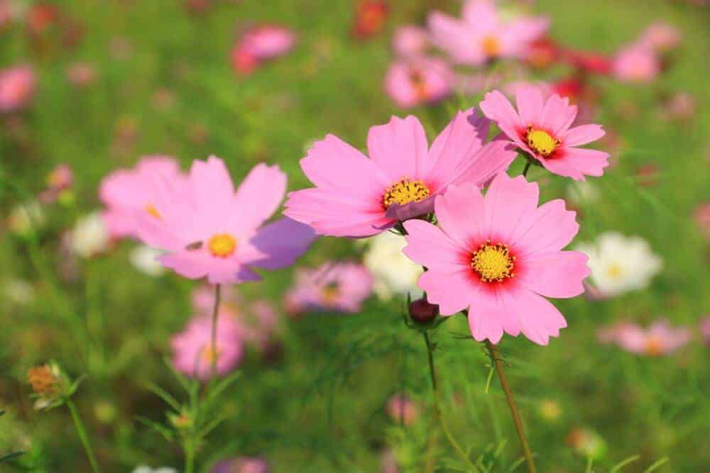 Fresh, pink cosmos in a field.