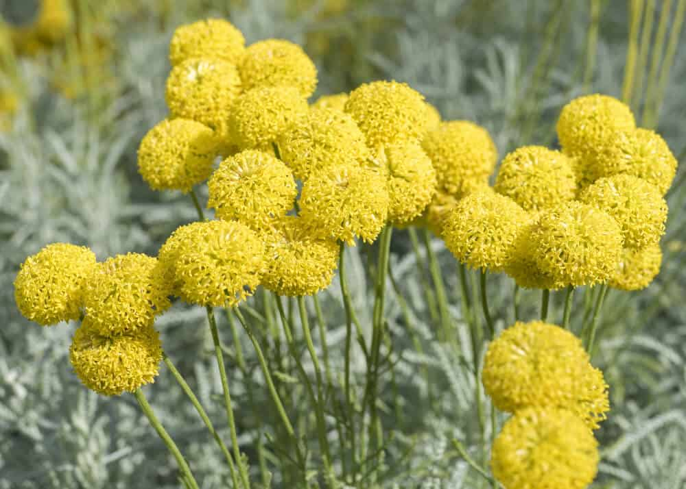30 vibrant types of yellow flowers for your yard a to z scientific name craspedia globosa mightylinksfo