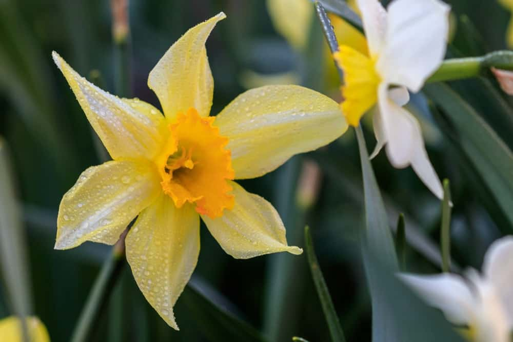 Cyclamineus daffodils