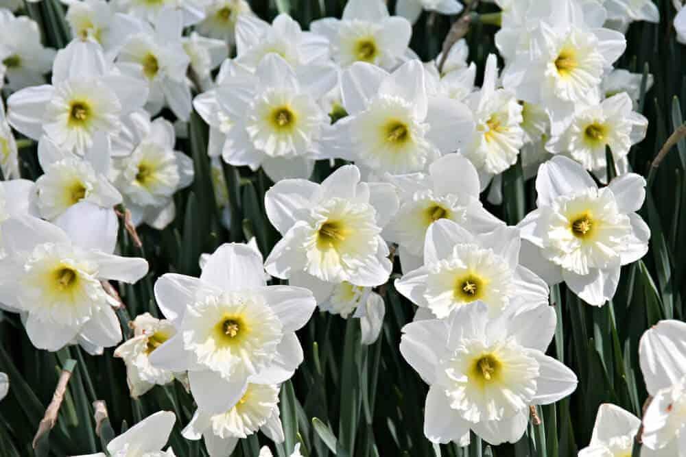 A field full of fresh, White Daffodils.