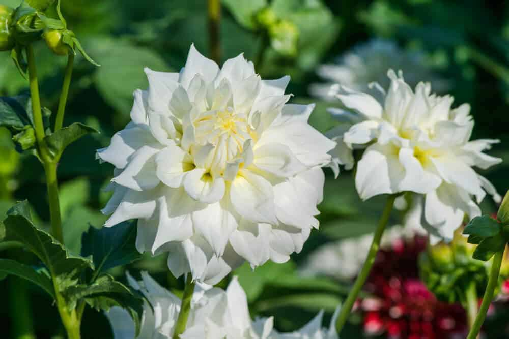 Attractive and fresh white Dahlias.