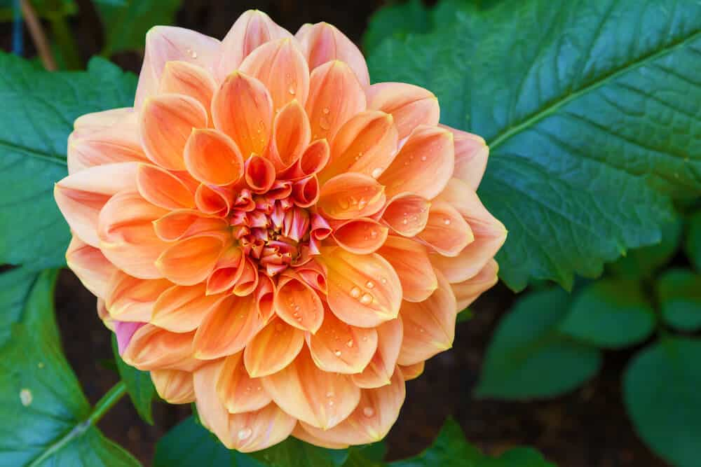 A fully-bloomed, orange Dahlia.