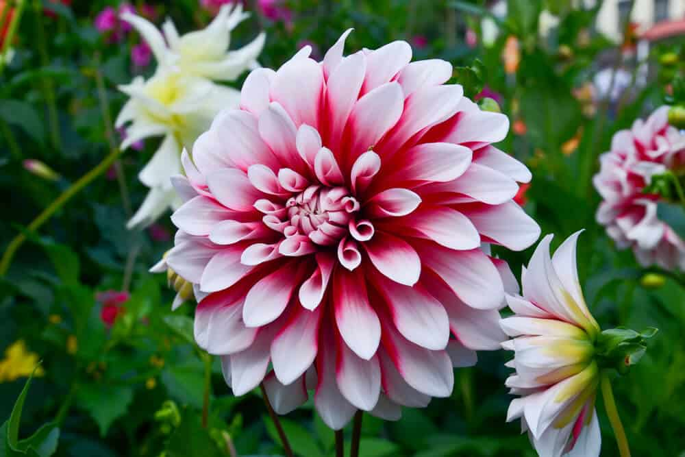 A dahlia with pink and red colors.