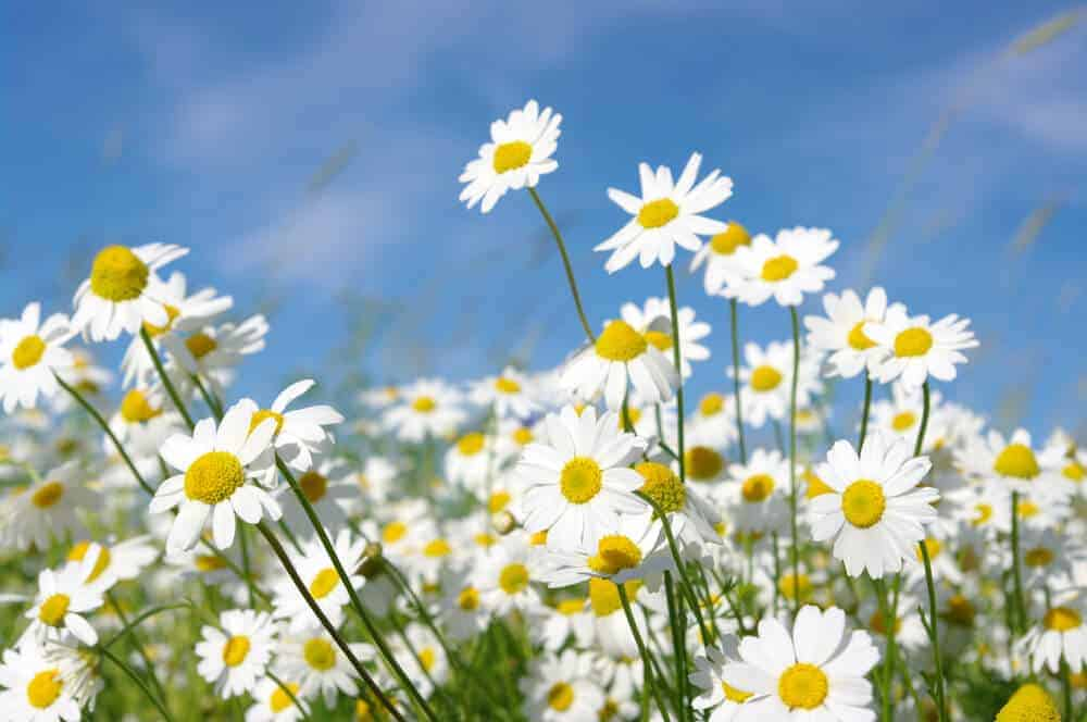 A field of healthy and nurtured daisies.