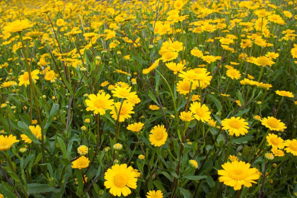 Picturesque field of Yellow Daisies.