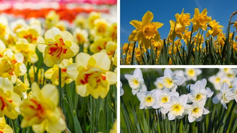 Photo collage showing the different types of daffodils