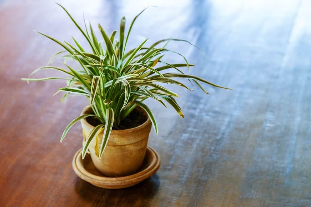 Dracaena plant.