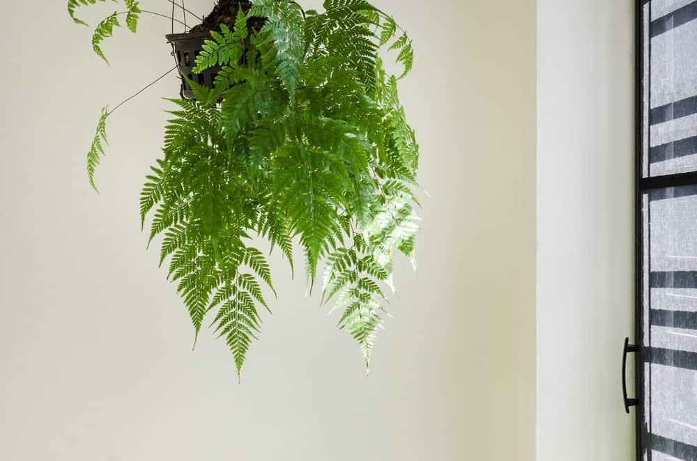 Boston fern plant.