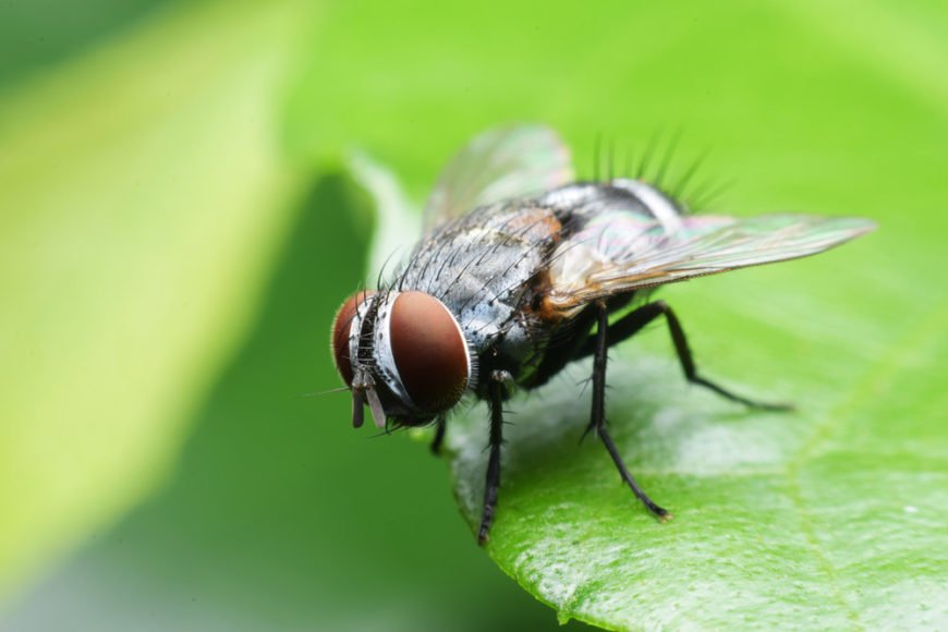 Fly sitting on a leaf (close up picture of a fly)