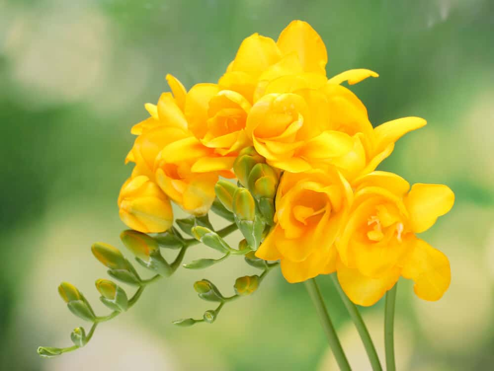 Yellow Freesia flowers looking bright and gorgeous.