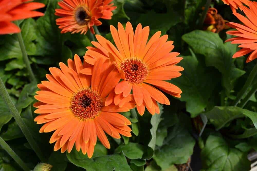 Bright orange Gerbera Daisies.